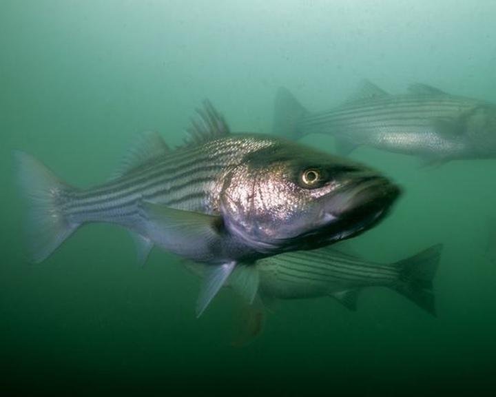 Az óceánok savasodása miatt romlik a halak szaglása