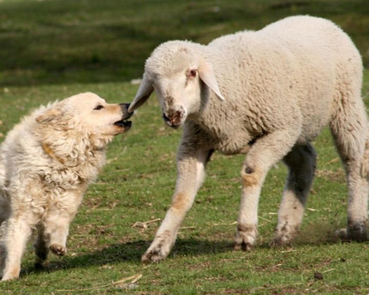 Magyar pásztorkutyák terelőversenyét rendezik meg az Ős-Dráva Látogatóközpontban