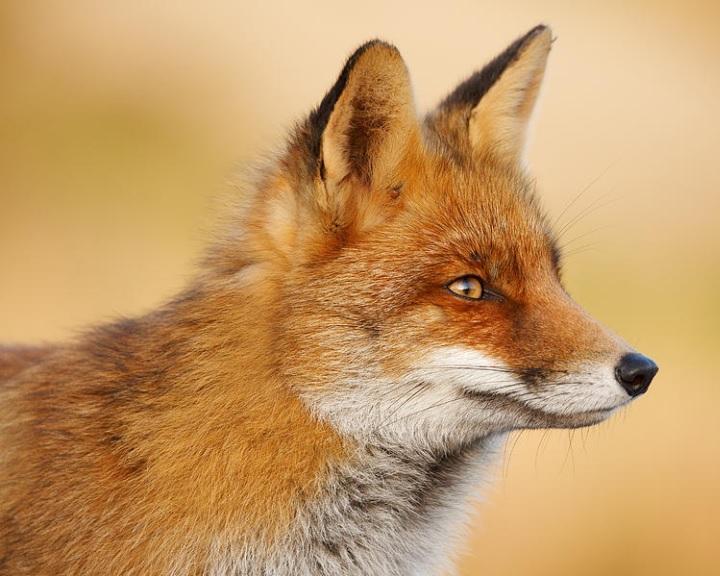 Azonosították a rókák szelídségéért felelős kulcsgének egyikét