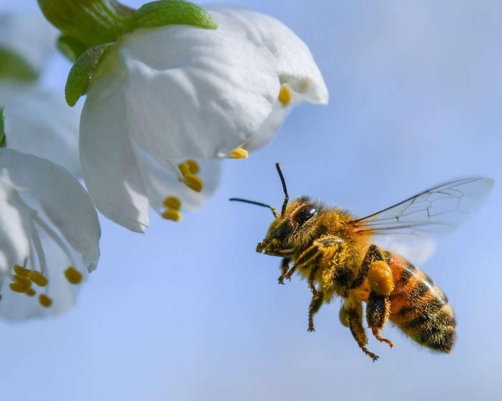 Az ember nikotinfüggőségéhez hasonlóan a méhek rászokhatnak a rovarirtószer ízére