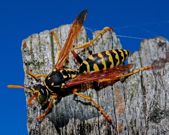 A darazsakat utálják, a méheket szeretik az emberek, bár egyformán hasznosak
