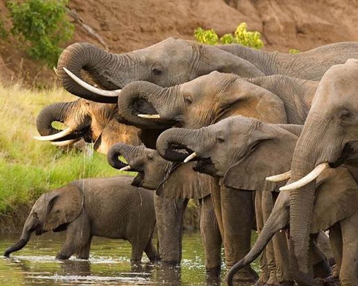 DNS-vizsgálatokkal azonosítottak három nagy elefántcsontcsempész-kartellt