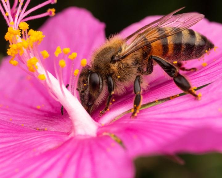 Felelős lehet a méhek pusztulásáért a legelterjedtebb gyomirtó