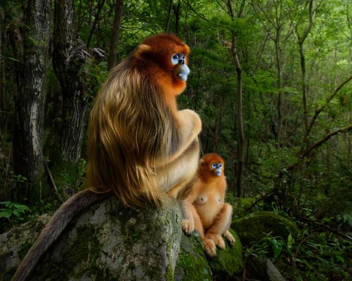 Távolba meredő piszeorrú majmokat ábrázol az év természetfotója