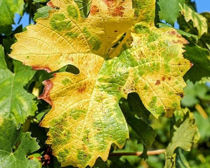 A szőlő aranyszínű sárgaság fertőzése miatt növény-egészségügyi zárlatot rendeltek el Pécsen
