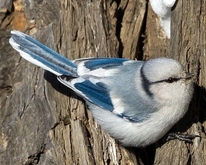 Új magyarországi madárfajt, lazúrcinegét figyeltek meg a szegedi Fehér-tónál