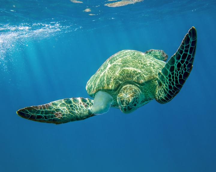 A tengeri teknősök minden fajában találtak mikroműanyagot