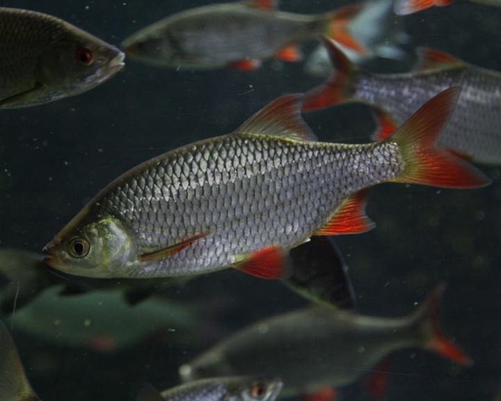 A vörösszárnyú keszeg az év hala