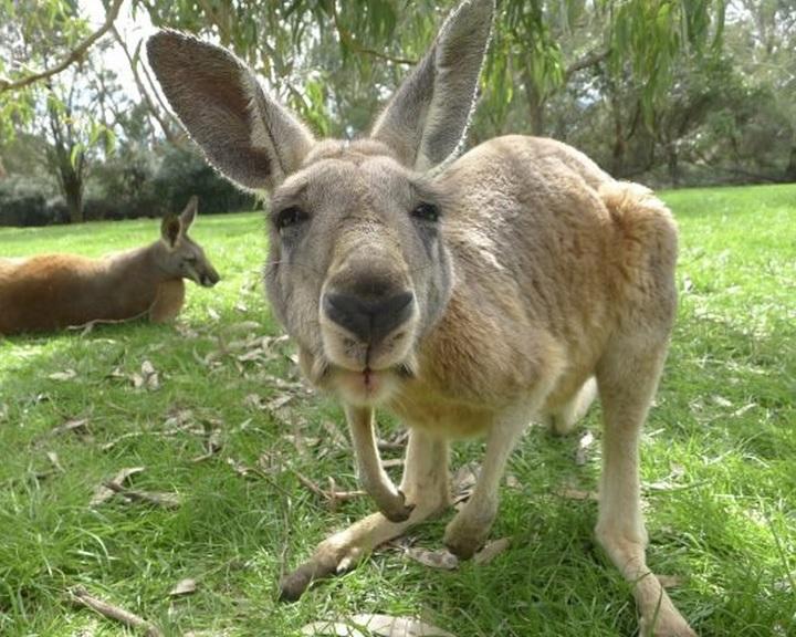 Az eddig véltnél 10 millió évvel korábban váltottak ugró mozgásmódra a kenguruk