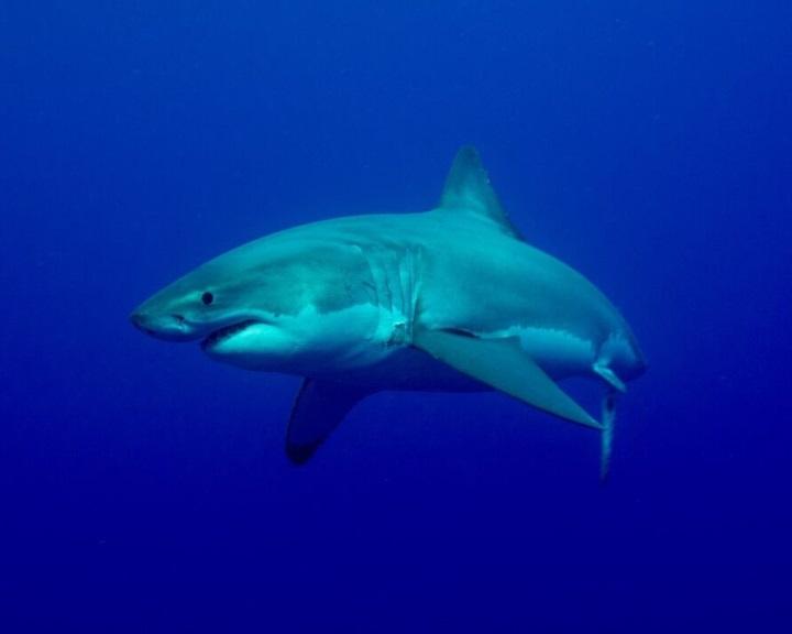 Másik cápafaj veszi birtokba a nagy fehércápák élőhelyét a dél-afrikai vizekben