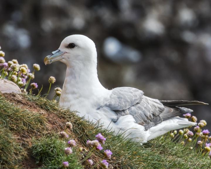 Műanyagból származó adalékanyagot találtak északi-sarkvidéki madár tojásaiban