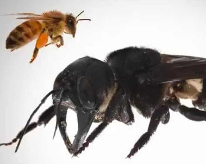 Újra felbukkant a világ legnagyobb, kihaltnak vélt méhfaja