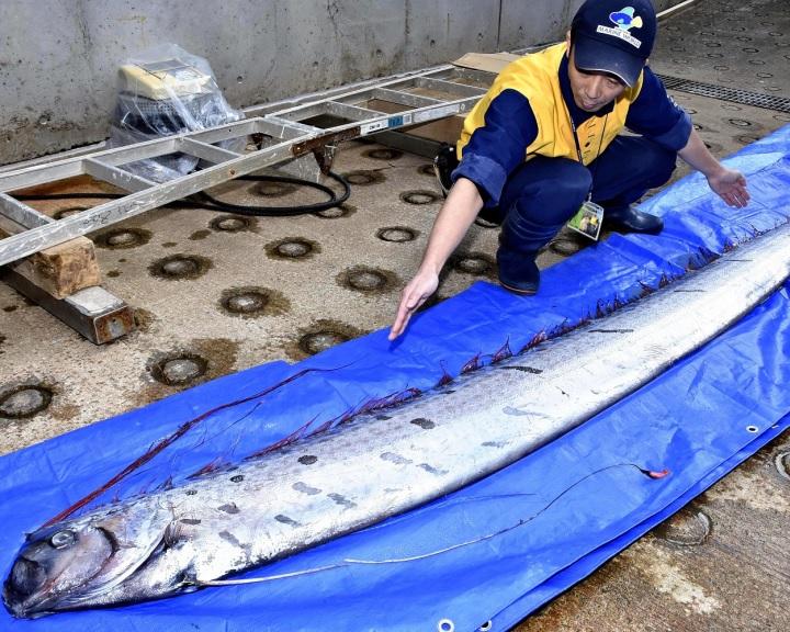 Rossz ómennek tartott, ritka mélytengeri teremtményeket fogtak ki Japánban