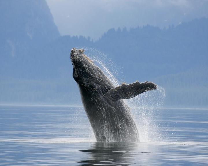 Emlékezetükre hagyatkozva térnek vissza tápláléklelőhelyekre a kék bálnák