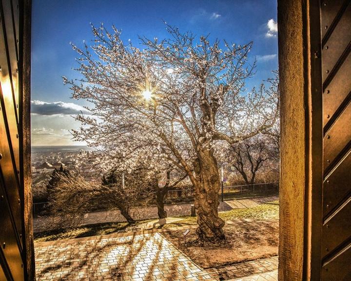 A pécsi mandulafa lett az Európai Év Fája