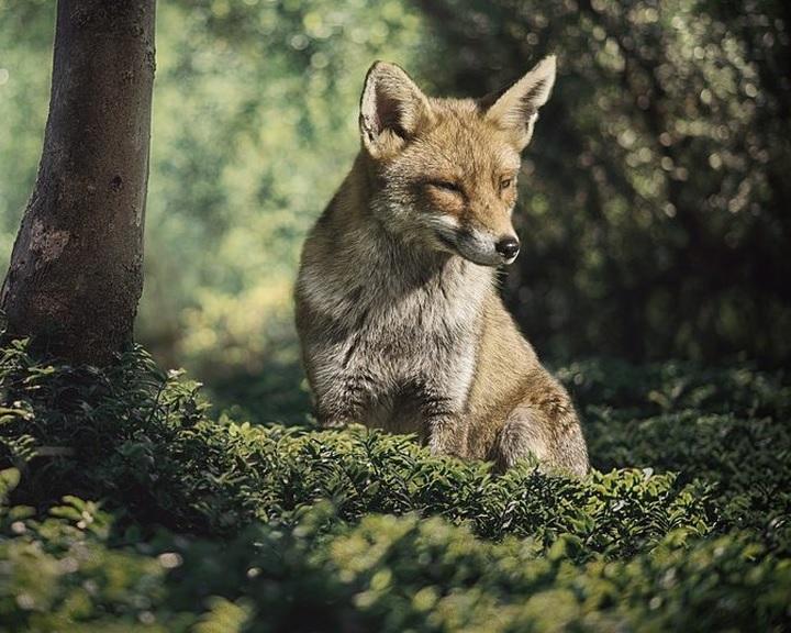Indul a vadon élő rókák tavaszi veszettség elleni vakcinázása