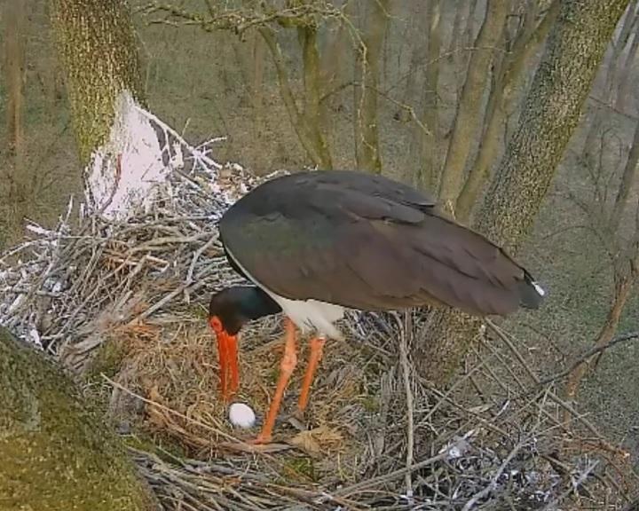 Megjelent az első tojás a bekamerázott gemenci gólyafészekben
