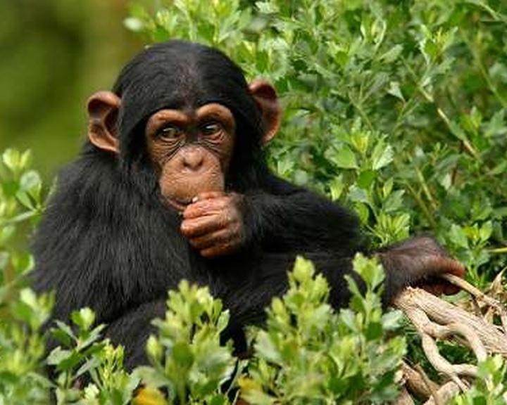A súlyosan veszélyeztetett nyugati-afrikai csimpánzok többsége a védett területeken kívül él