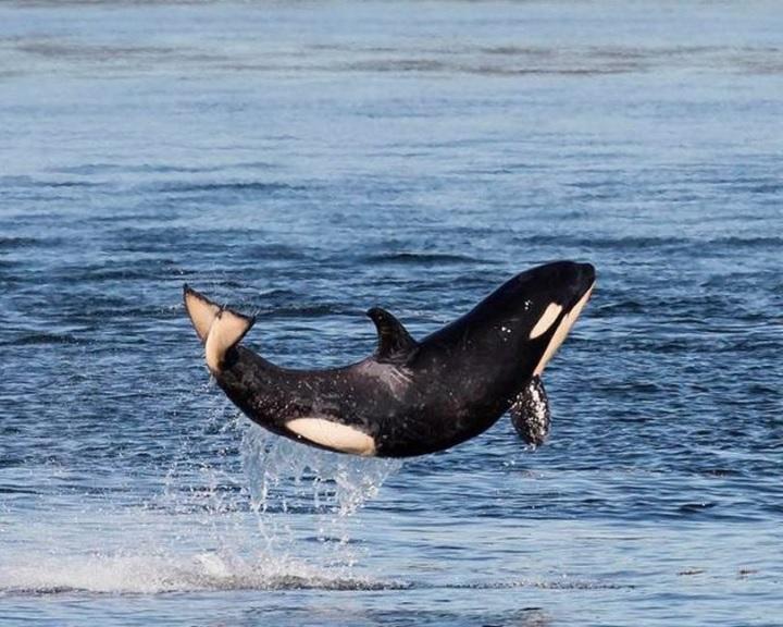 Az összes delfint szabadon fogják engedni az orosz cetbörtönből