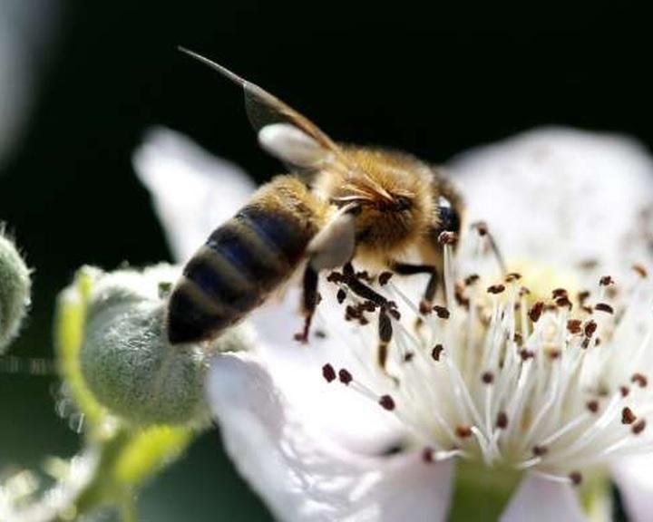 A növényvédelmi előírások betartására int a Nébih a méhek védelme érdekében