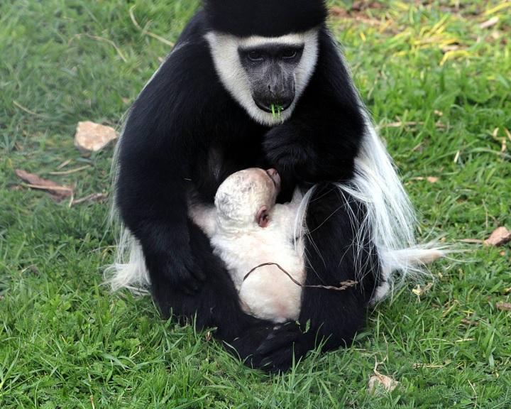 Szavannacerkóf és zászlós farkú kolobusz született a pécsi állatkertben