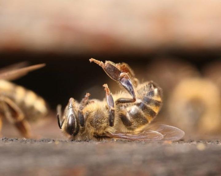 A nyári méhpusztulás okait vizsgálja a Nébih