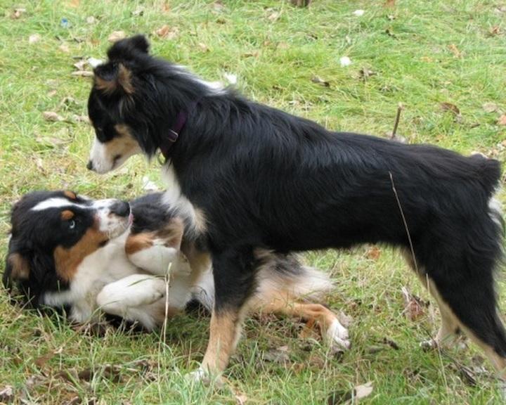 A kutyák közötti dominanciaviszonyt vizsgálták az ELTE etológusai