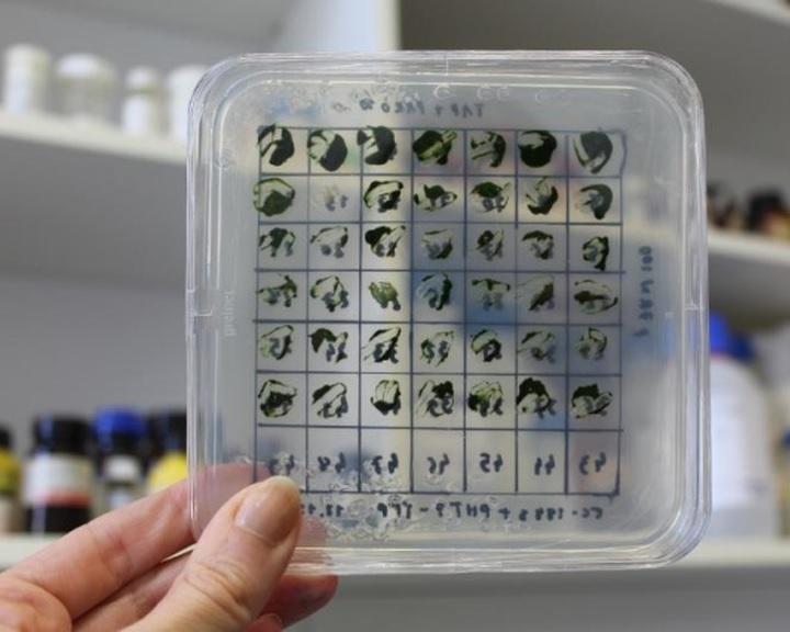 Az eddigieknél hatékonyabban lehet hidrogént előállítani zöldalgákkal