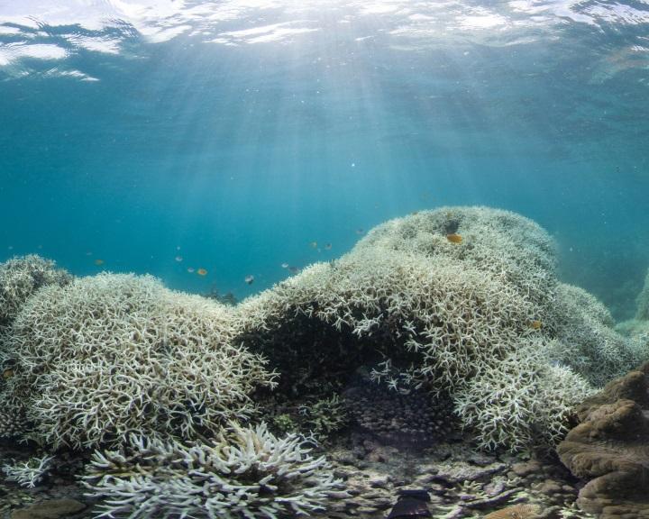 A korallzátonyok fehéredése megváltoztatja a helyi halközösségek összetételét