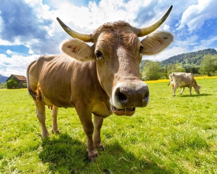 Van lehetőség a szarvasmarhák metánkibocsátásának csökkentésére