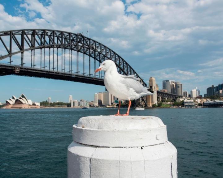 Szuperbaktériumokat hordoznak a sirályok Ausztráliában