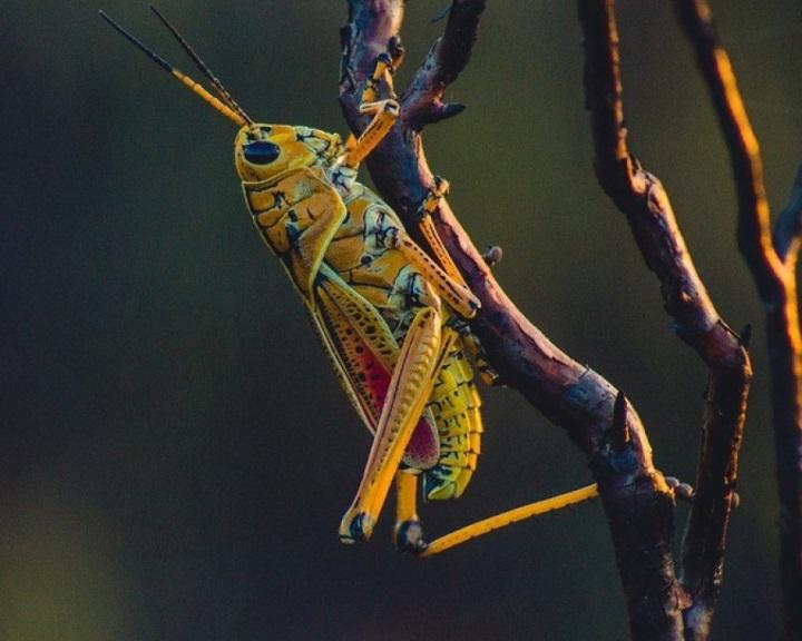 Egyes ehető rovarok olyan gazdagok antioxidánsban, mint a friss narancslé
