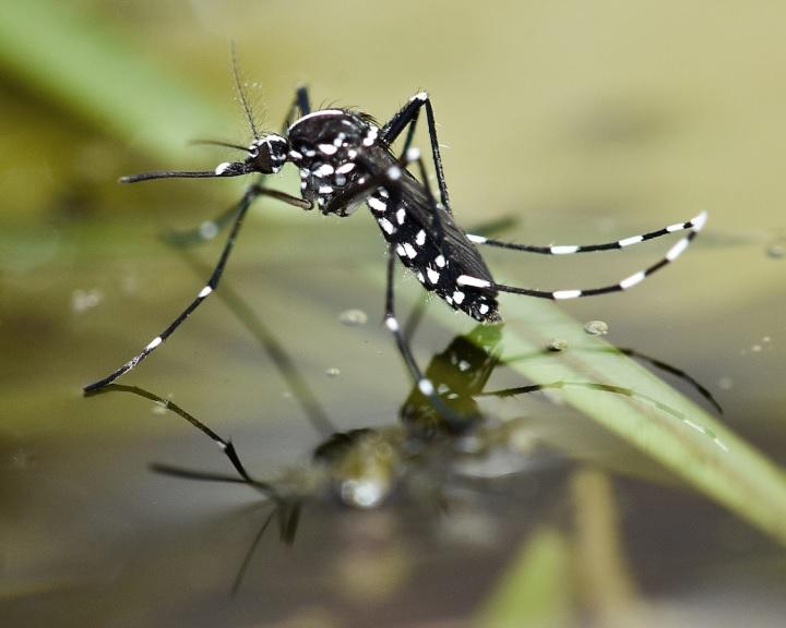 A szúnyogok szaporodását gátló módszert fejlesztettek ki kínai tudósok
