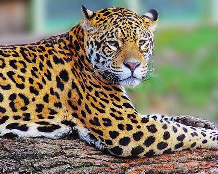 Törvény által biztosított jogokat követelnek a jaguároknak környezetvédők Dél-Amerikában
