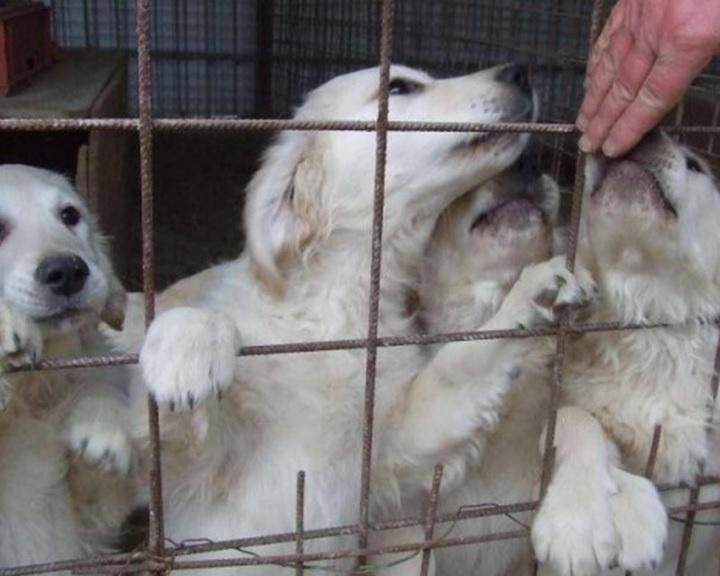 Állatorvos: ne szaporítóktól vásároljanak kutyát!