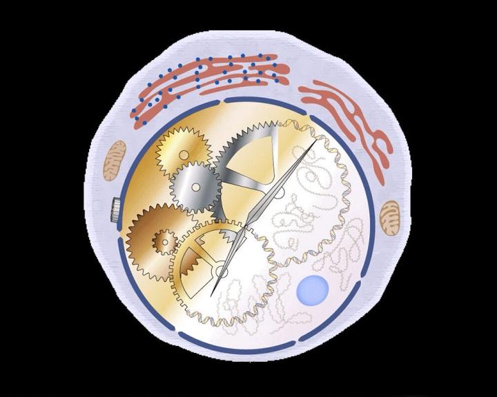 A szervezet biológiai órájával kapcsolatban álló bélsejteket azonosítottak