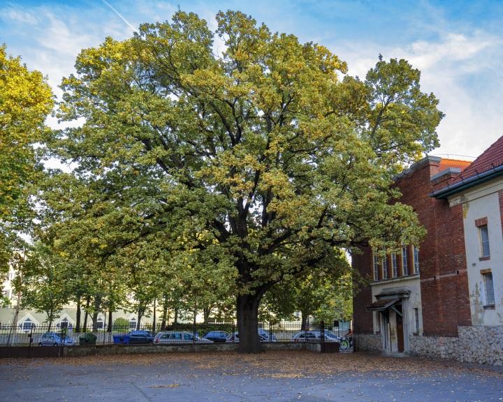 A kaposvári Szabadságfa lett az év fája