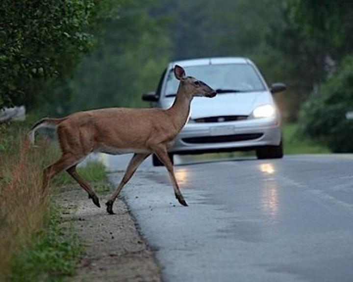 Évi több tízezer vadállatot ütnek el az utakon