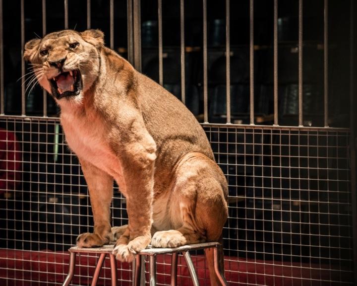 Novembertől nem szerepelhetnek vadállatok a szlovákiai cirkuszokban