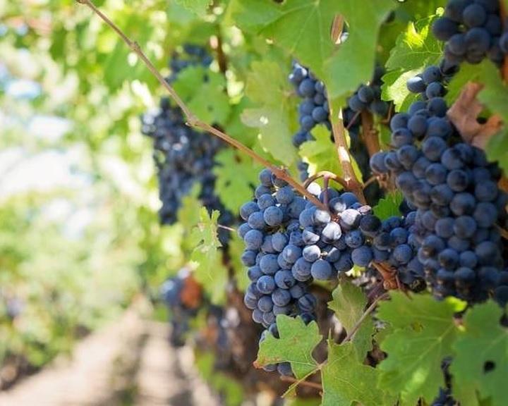 Agrárminisztérium: meghaladhatja a 400 ezer tonnát az idei szőlőtermés
