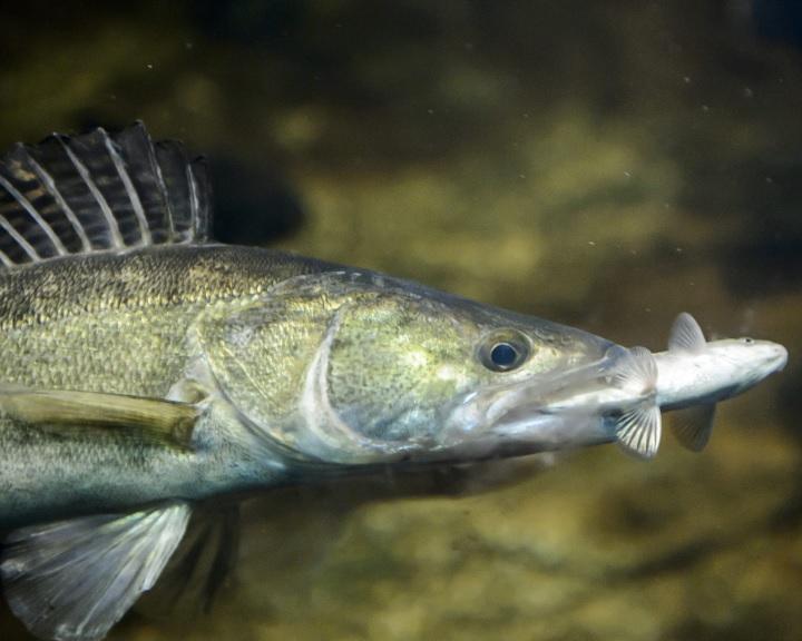 A süllő kapta a legtöbb voksot az év hala közönségszavazáson