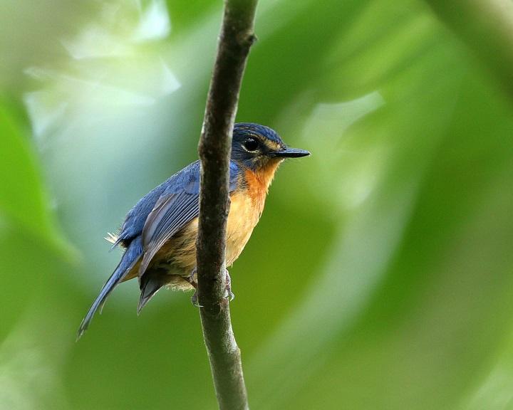 Az énekesmadarak tíz új faját és alfaját fedezték fel Indonéziában