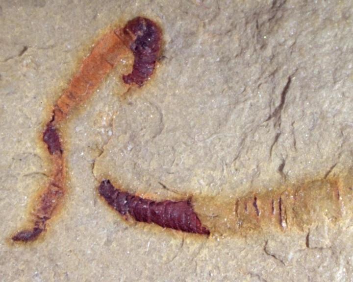 Megtalálták az eddig ismert legrégibb, megkövült bélszakaszt