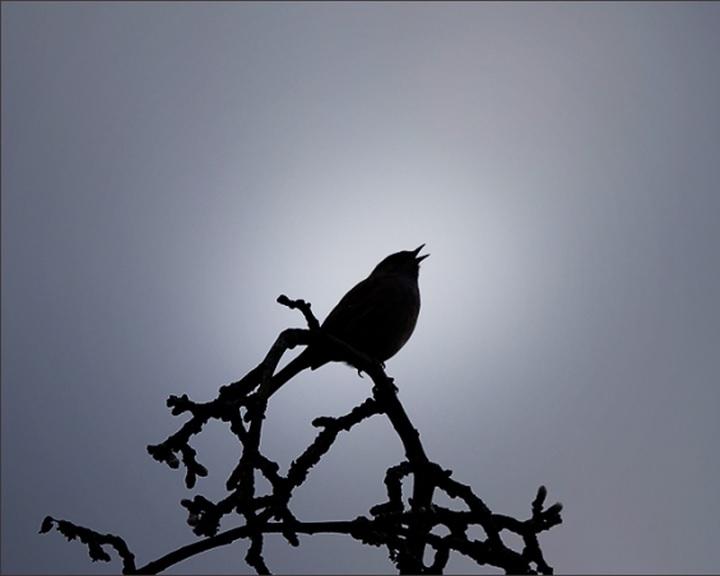 Szakértő: a madárénekek is divatszerűen változhatnak