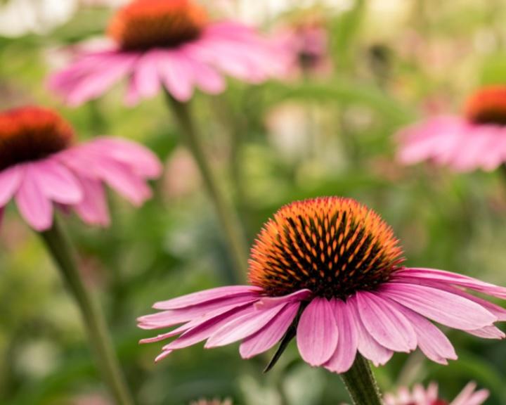 Az év gyógynövénye idén a bíbor kasvirág