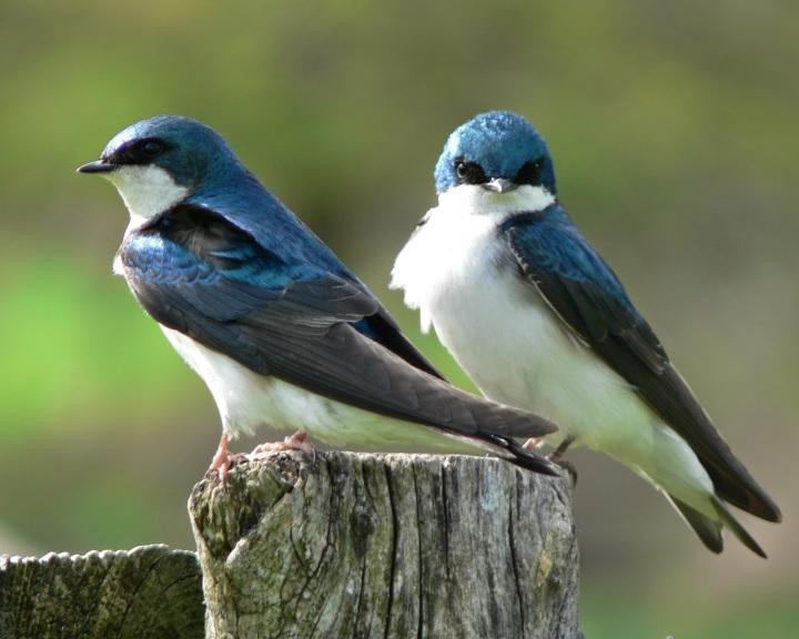 A tavasz kiemelt fecskevédelmi időszak - óvjuk a madarakat!