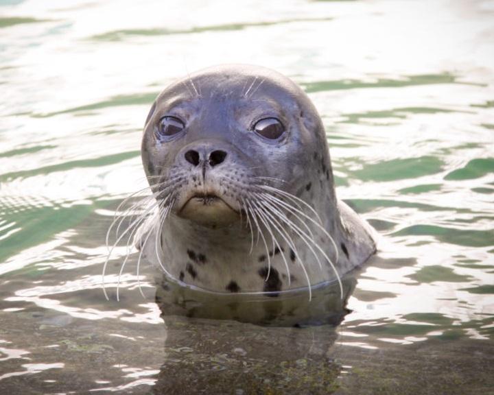 Élő internetes videón figyelhetők meg a pécsi állatkert fókái