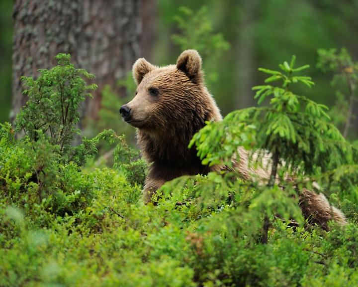 Medvék nyomait kereshetik a turisták Füzér környékén
