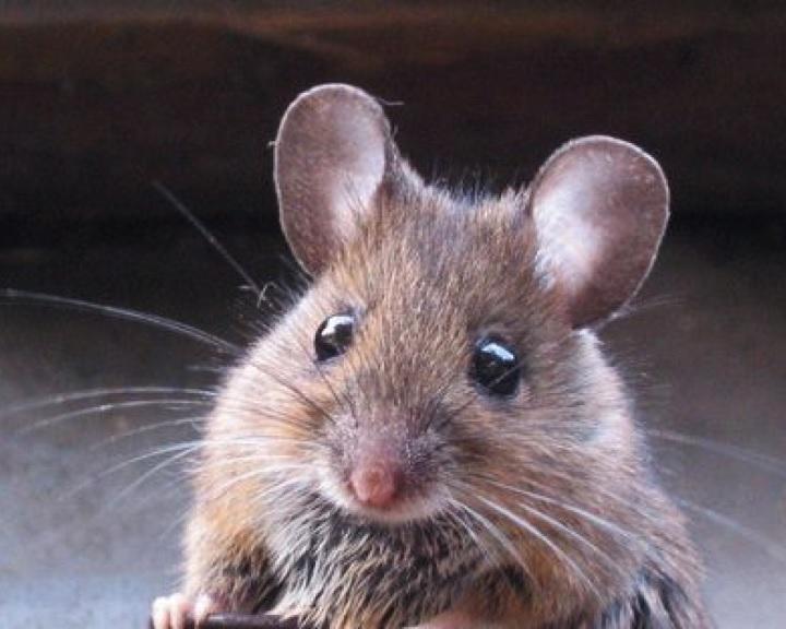Először bizonyították, hogy érzelmeket fejez ki az egerek arca