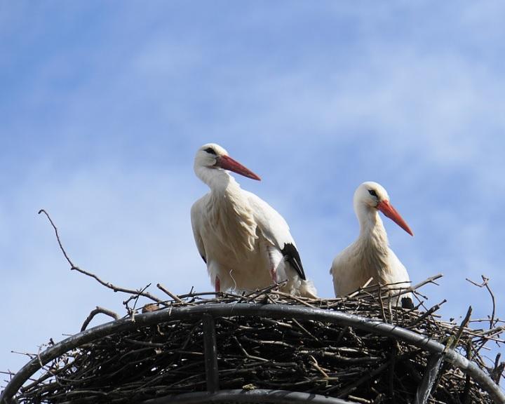 Idén újabb 56 fészektartót helyezett ki az E.ON a gólyák számára